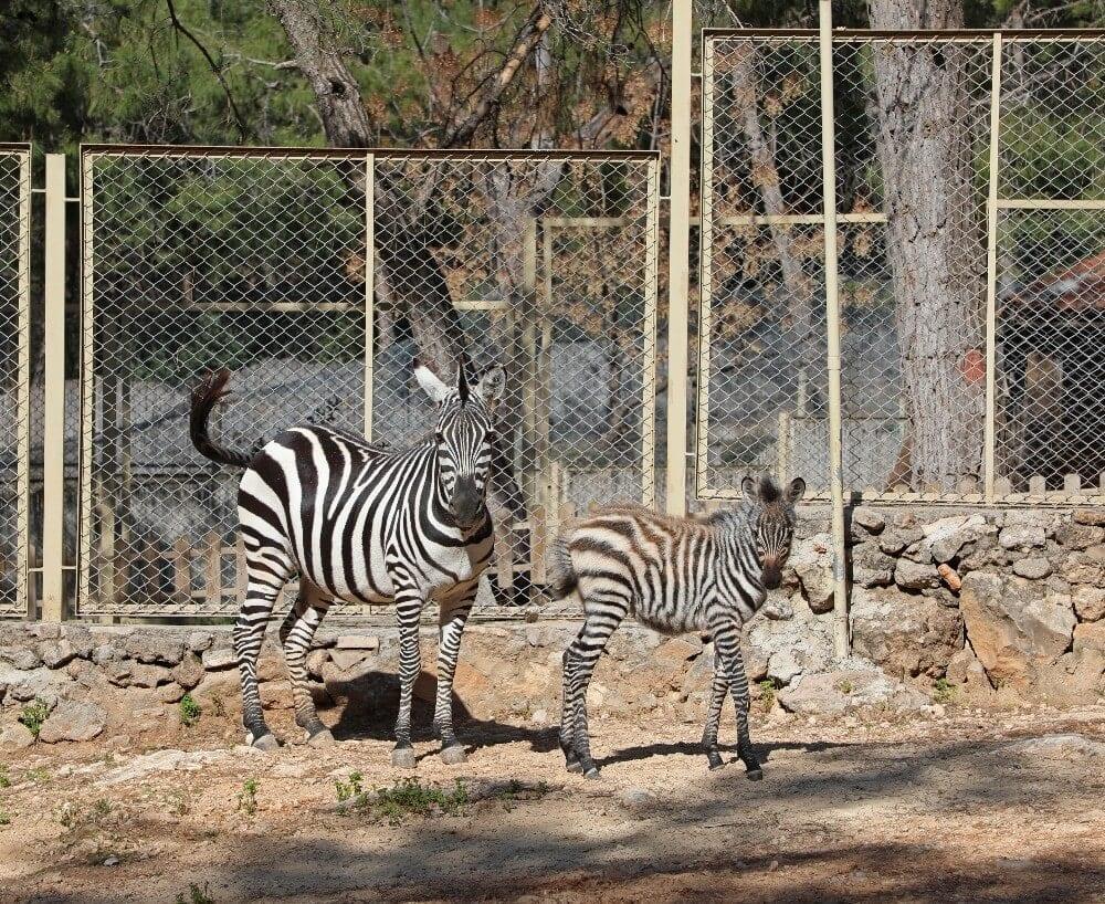 antalya hayvanat bahcesinde yeni yavrular 2 6Qqvdrs2