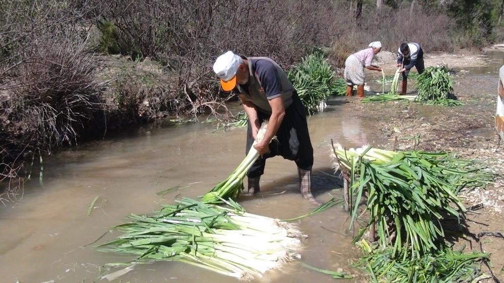 turkiyenin kislik sebze uretim merkezlerinden antalyada pirasa hasadi yogun sekilde devam ediyor 0 BM6izyEY