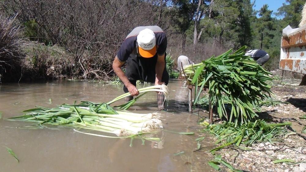 turkiyenin kislik sebze uretim merkezlerinden antalyada pirasa hasadi yogun sekilde devam ediyor 1 jUu5Izna