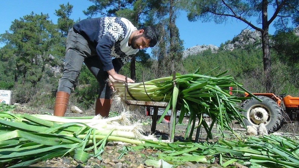 turkiyenin kislik sebze uretim merkezlerinden antalyada pirasa hasadi yogun sekilde devam ediyor 4 zpAU2LXj