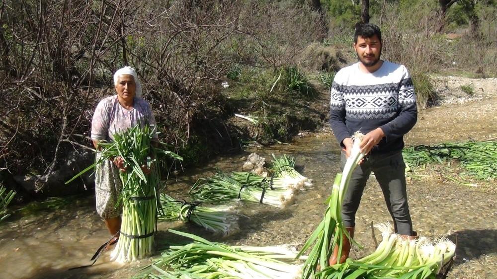 turkiyenin kislik sebze uretim merkezlerinden antalyada pirasa hasadi yogun sekilde devam ediyor 5 AnimvIbK
