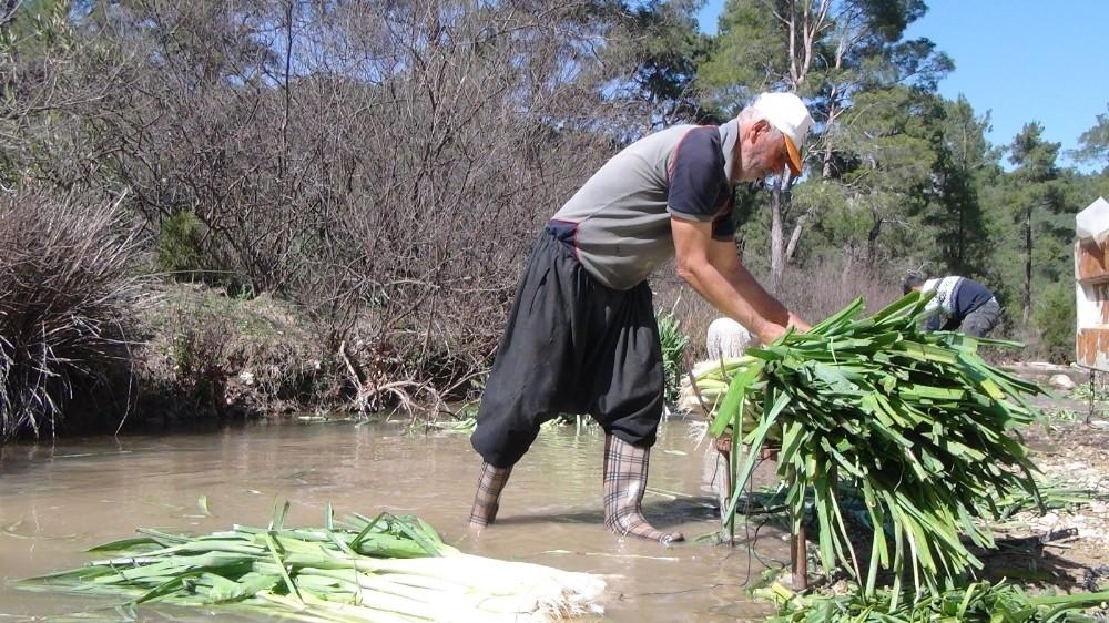 turkiyenin kislik sebze uretim merkezlerinden antalyada pirasa hasadi yogun sekilde devam ediyor 6 Ym6Aiqfh